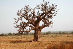 Baobabtreet